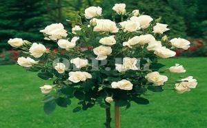 Корен Уникална Бяла Роза Pascali