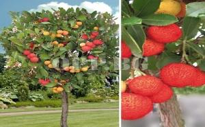 Семена за Вечнозелено Ягодово Дърво