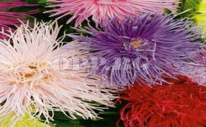 Семена за Пълноцветна Богородичка Микс