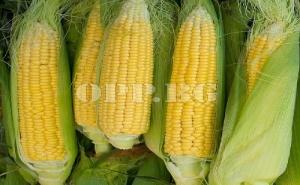 Семена за Вкусна Захарна Царевица Сладка Голдън Бантам