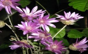 Италиански Семена за Цветя за Сушене